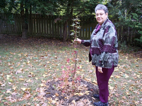 Sue Mohr planting a Fire Dragon Shantung maple before the historic freeze.