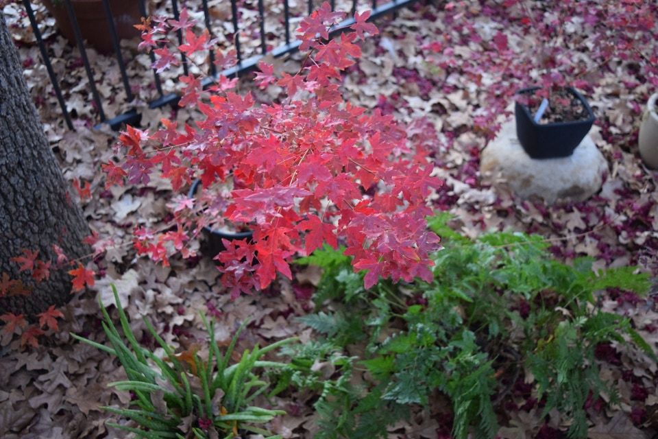Acer truncatum White Dragon, Shantung maple dwarf with exceptional fall colors discovered at Metro Maples.