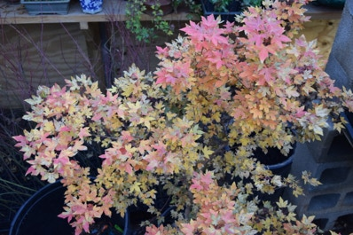 Acer truncatum 'Eye of the Dragon' dwarf Shantung or Shandong maple.