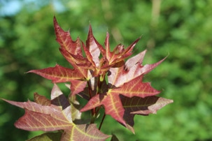 Acer truncatum 'Fire Dragon' Shandong or Shantung maple, plant patent #17367 at Metro Maples.