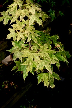 Acer truncatum 'Sugar Dragon' Shandong or Shantung maple. Sugar Dragon variegated maples.