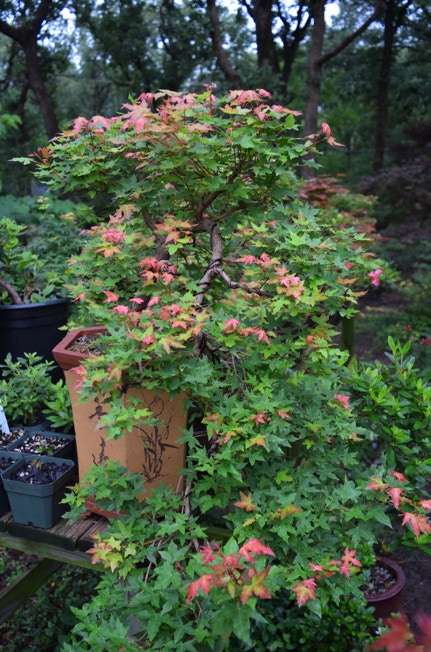 Acer truncatum 'Baby Dragon' TM Shandong or Shantung maple is cascade training for just a few years.