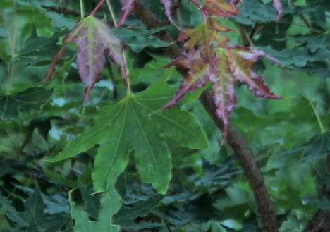 Acer truncatum, common name Shandong or Shantung maple.