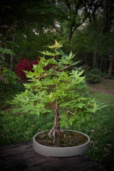 Acer truncatum, Shandong or Shantung in bonsai training.  A dwarf, 14 years old.