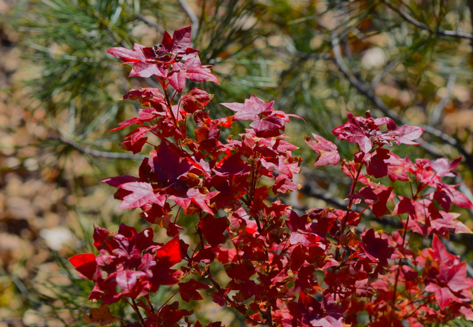 Acer truncatum Flower God, dwarf Shantung maple in fall color.  Metro Maples has discovered many dwarf Shantung.  Bonsai use.