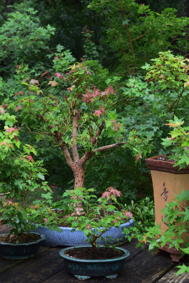 Acer truncatum Pure Fun dwarf Shantung, or Shandong maple bonsai - first year bonsai.  4 year old grafted tree.