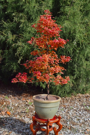 Acer truncatum Shantung maple Shandong maple tree, fall color, bonsai, metro maples, maple leeaves, information on maples