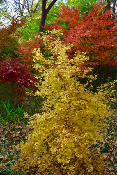 Acer truncatum 'Baby Dragon' TM, Shandong or Shantung maple.  Dwarf maple and superior bonsai maple.