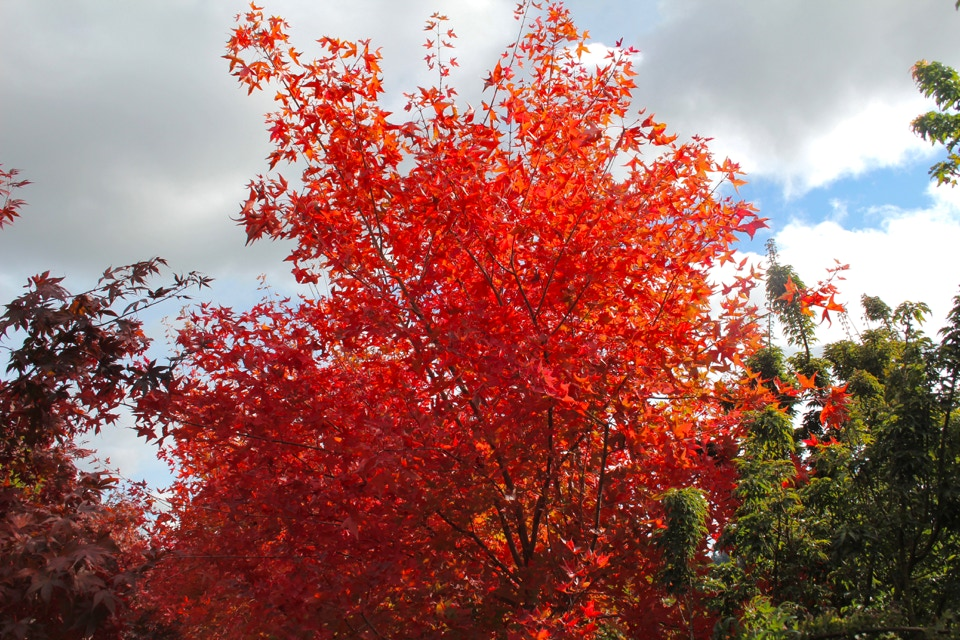 Acer truncatum Fire Dragon.  This Shantung maple sold at Munn's Nursery, Brooks, Or.