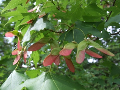 Acer truncatum, common name Shandong or Shantung maple, 'Fire Dragon' buds opening.